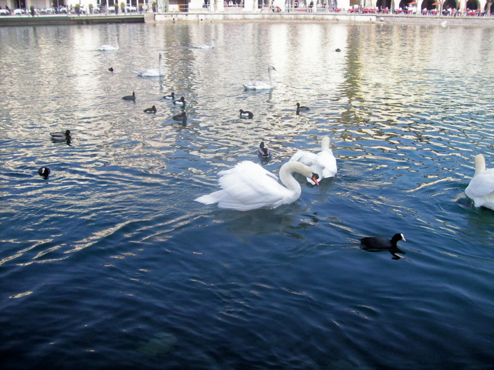 18985744-ducks_&_swans