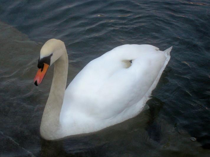 18985754-swan