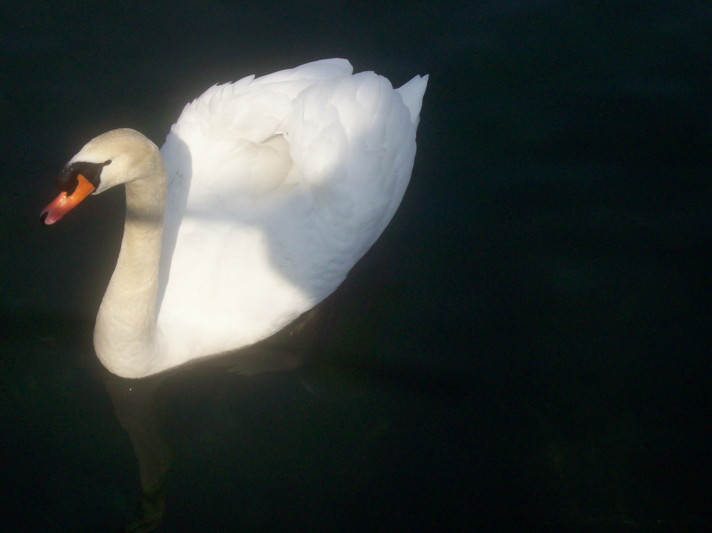 18985755-swan2