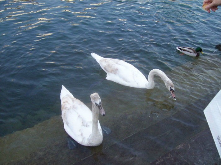 18985764-swans_eating